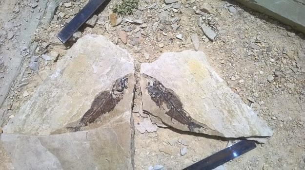 Mioplosus Fossil